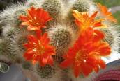 Почему не цветет кактус…