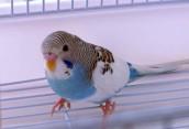 Советы о том, как научить волнистого попугая разговаривать