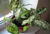 Драцена годсефа – красивое вечнозелёное растение