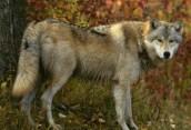 Особенности охоты на волка